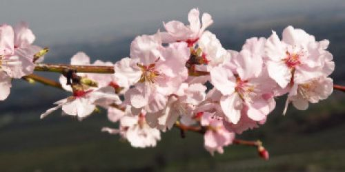 Almond blossoms Pfalz Germany