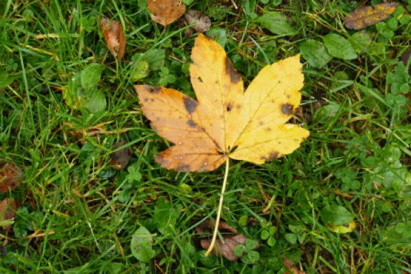 yellow leaf with brown stains in green grass